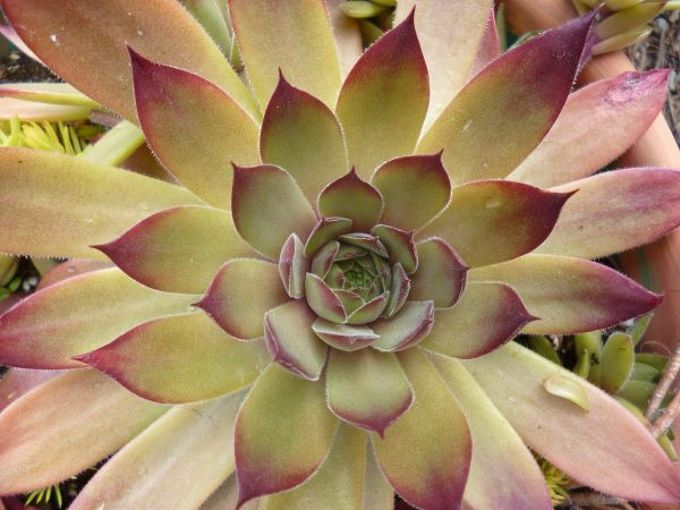 sempervivum in the fall, gardening, The first hybrid in my collection produced from a purchased batch of seed I ll be collecting seed from this one for further crosses
