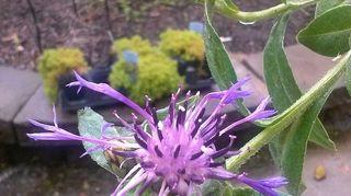 q plant identification, flowers, gardening, Cornflower