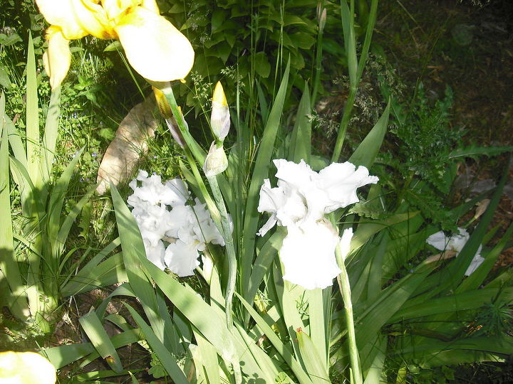 my iris in old garden, gardening