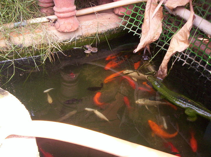 GOLD FISHES IN LILLY POND