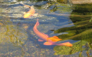 koi fish enjoying a stump cave in a nh eco system pond, outdoor living, ponds water features, Koi fish enjoying a stump cave in a NH eco system pond