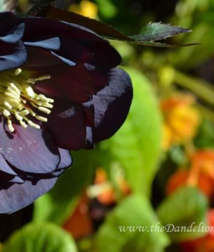 starlette s of the shade garden, flowers, gardening, Hellebores Onyx Odyssey another stunning double hellebores for late spring and into summer in the shade garden Pair this beauty with light or bright coloured blooms for added drama