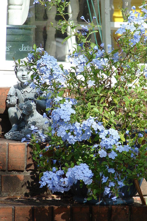 The plumbago is blooming like crazy - must have energy to burn before the first frost.