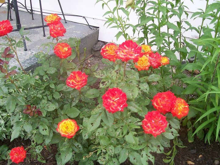 roses by the front door