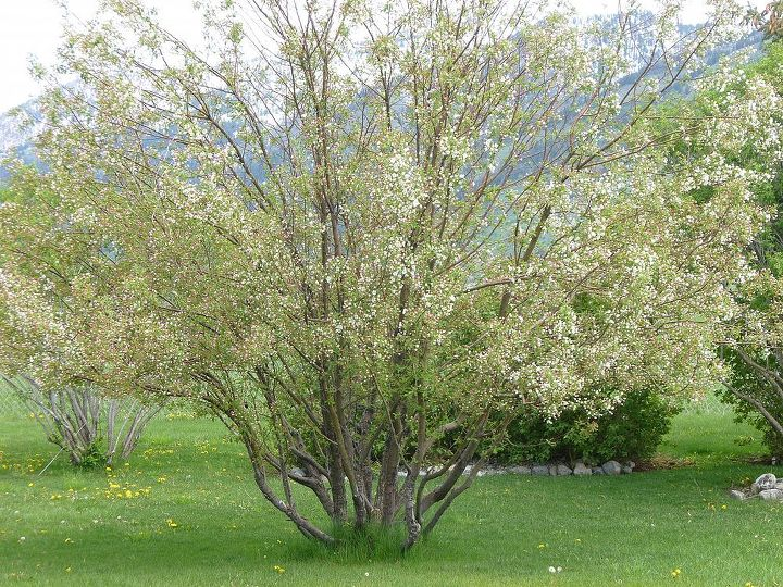 This is the tree before it bloomed in 2012.