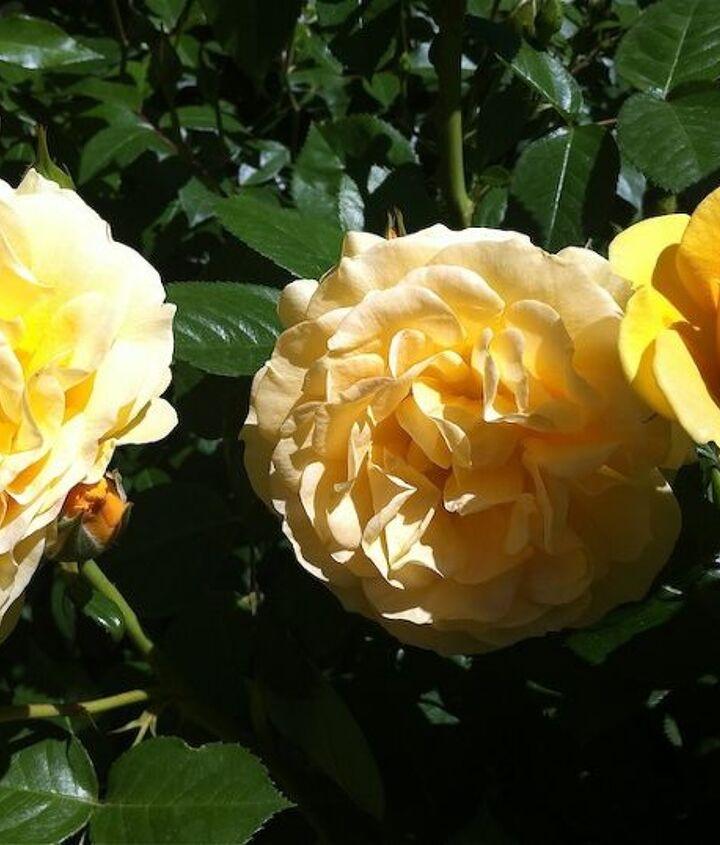 Henry Fonda roses www.mysoulfulhome.com