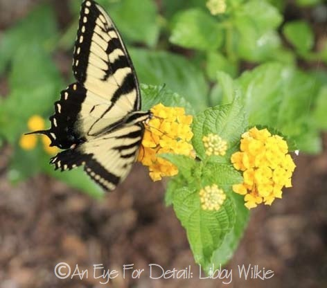 Butterfly on the lantana