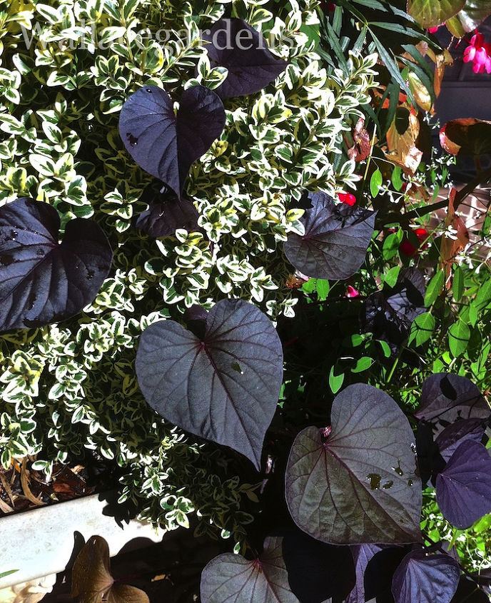 I have three favorite Sweet Potato Vines. This one is 'Black Heart' ~ another one for the Black Plant List!