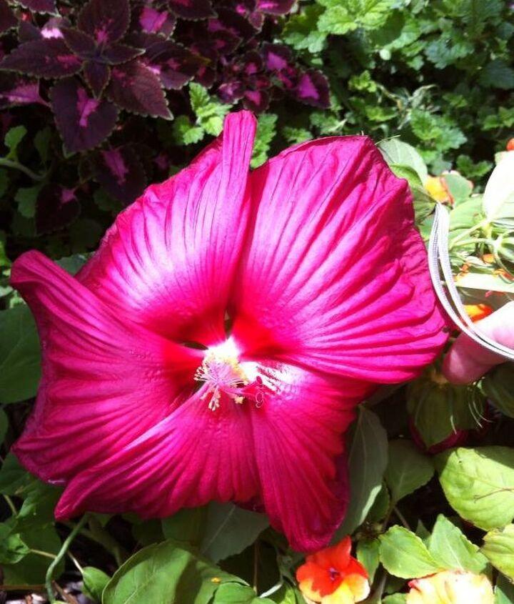 q what s blooming in my garden, gardening