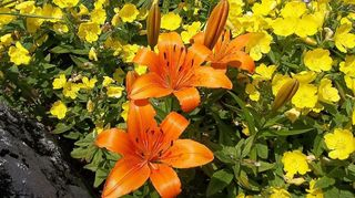 i have this flower which i don t know the name please help, flowers, gardening, here s some orange lilies growing in the yellow evening primrose patch