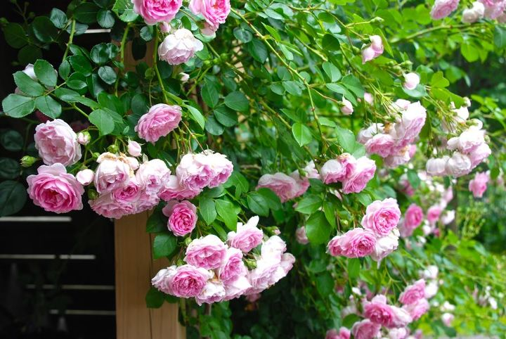 This rose is lovely, though hangs a bit too much for this trellis. I am thinking of moving it someday, as it would be perfect suspended over-head on a pergola. Its sweetly scented roses would fall right to your nose... bliss*