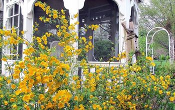 april blooms, flowers, gardening, succulents, Kerria blooming by the gazebo