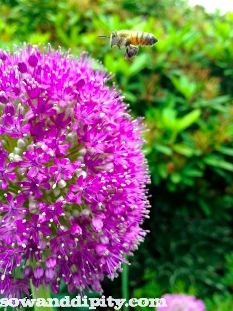 Busy Bee visits Allium blooms