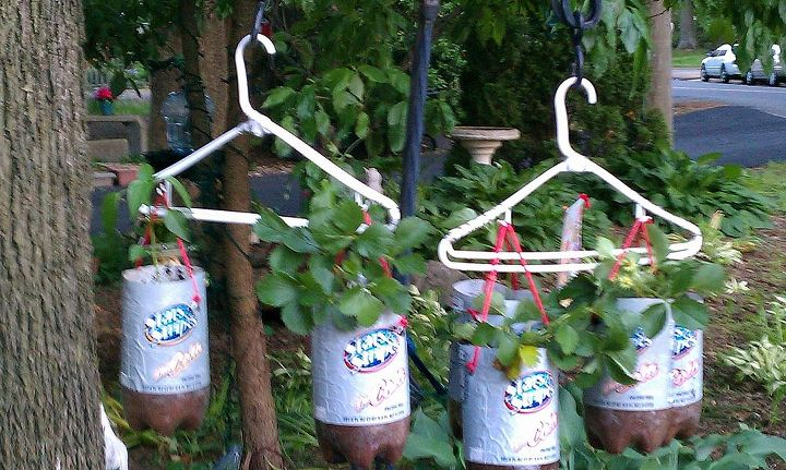 This is 3 strawberry plants and 3 pepper plants hanging  on a 2 hook/doubled Shepherds hook.