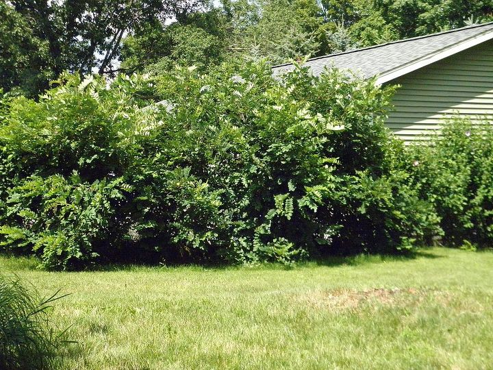 This is the Locust tree in 2013. It really wanders if left untrimmed. It is now over 8ft tall & growing