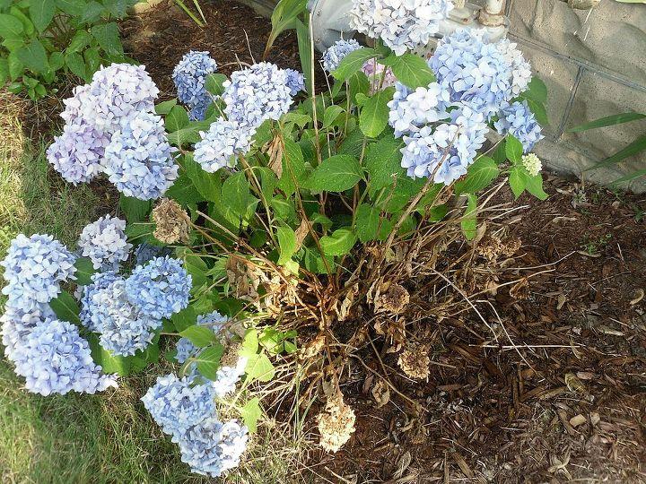 wilting hydrangea, flowers, gardening, hydrangea