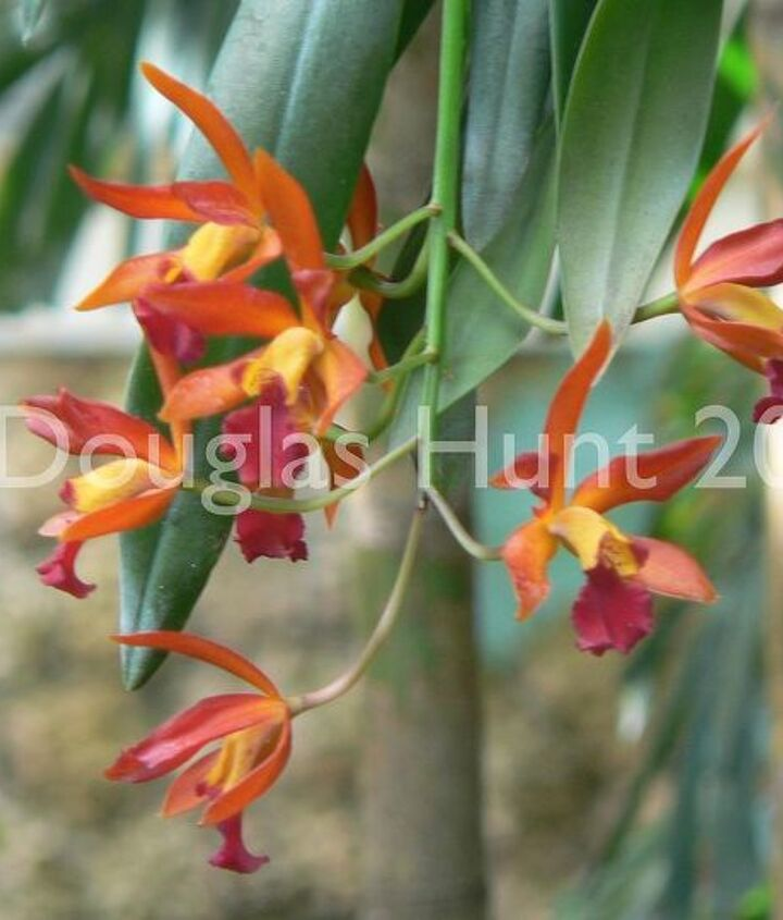 """Cattleya orchid """"Trick or Treat"""""""