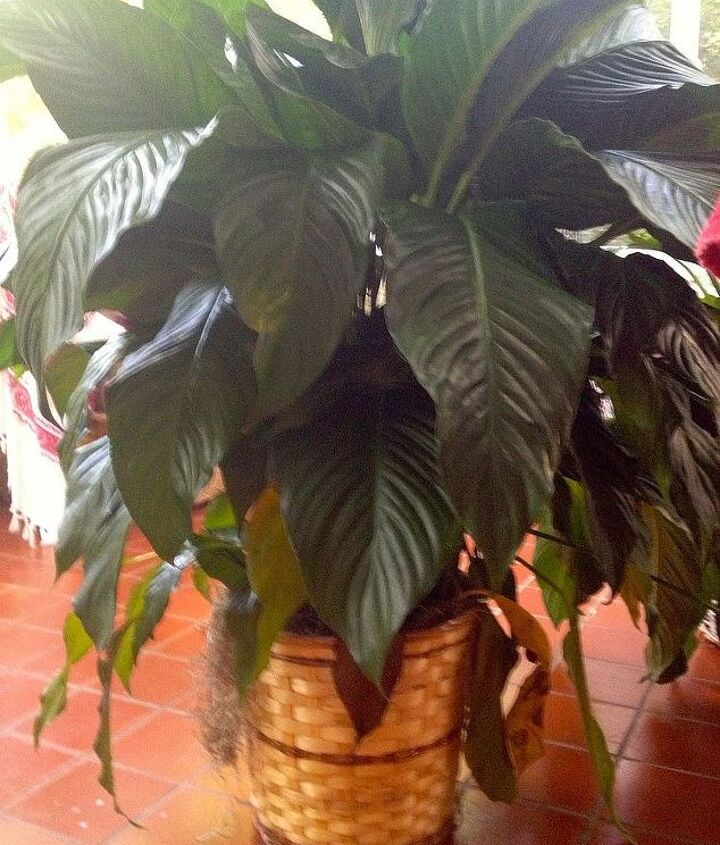 It is about 4 feet high and has large leaves.