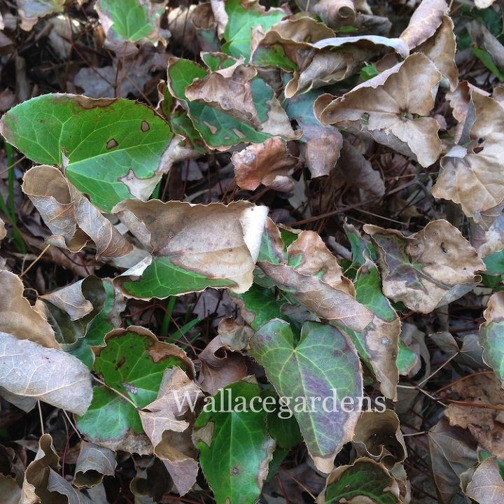 Evergreen perennials, like this Epimedium, were badly burned this year. Just cut the foliage down to the ground, and this plant will bounce back in no time.