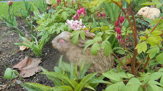 transplanted perennials from old home to new yard weed control, flowers, gardening, landscape, perennial, Bleeding hearts