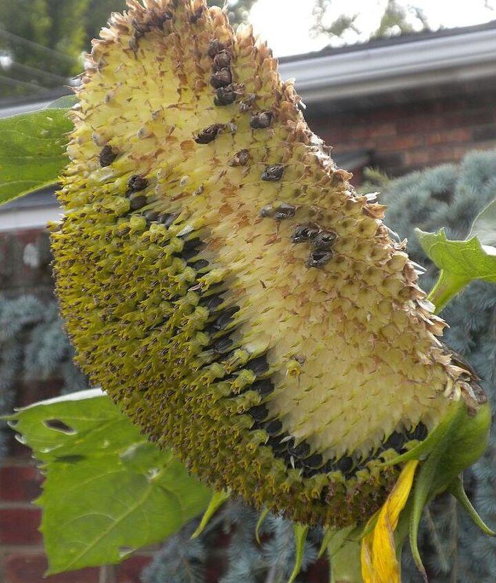 Sunflower (late July)
