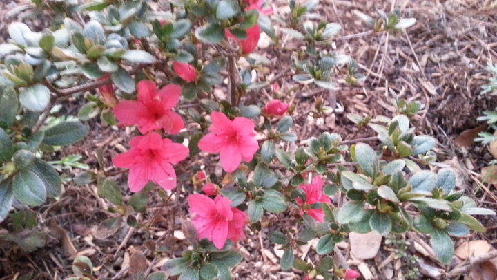q friends its been a long time coming but look there are blooms forming on, gardening