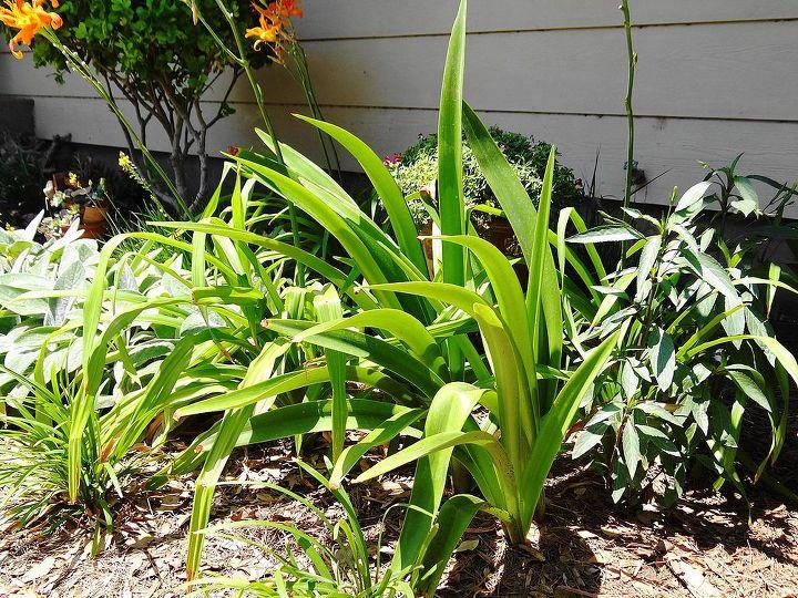 hardy amaryllis, gardening, This flowerbed gets morning sun