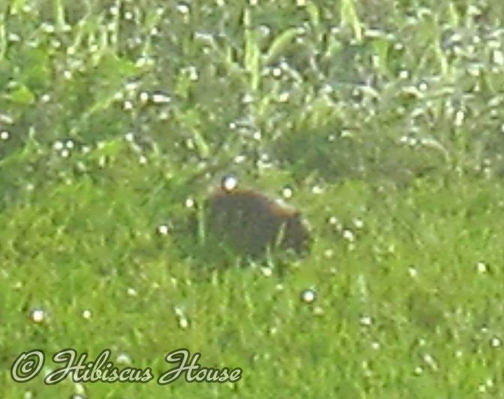 strawberry patch and wild critter, gardening, Fuzzy pic of critter Does anyone know what it is