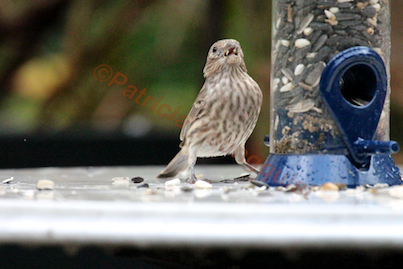 My sweet gal, a house finch also enjoyed having the Droll feeder on the table as opposed to where it had been hanging! Story @  http://www.thelastleafgardener.com/2013/01/another-year-over-and-new-one-just_13.html