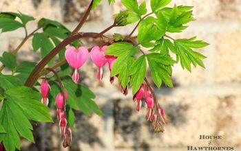 my five favorite perennials, flowers, gardening, perennials, Bleeding Heart Dicentra