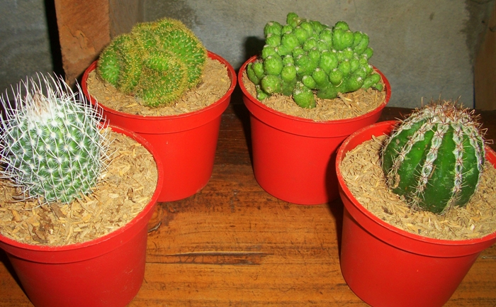 """pretty cacti in their """"usual"""" planters"""