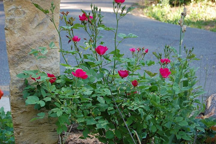 how to root roses lilacs and other semi hardwood cuttings, gardening, Voila A new rose to enjoy Patience is the name of the game rooting can take a few weeks or several months depending on conditions This rose is fast to bloom so blooms by the first year others may differ