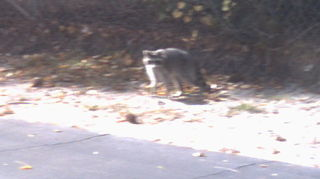 q racoons more wildlife, outdoor living, pest control, pets animals, ponds water features, this guy didn t look too well but he kept going