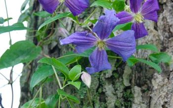 how totraining clematis on a tree trunk, flowers, gardening, hydrangea, Clematis Perle d Azur