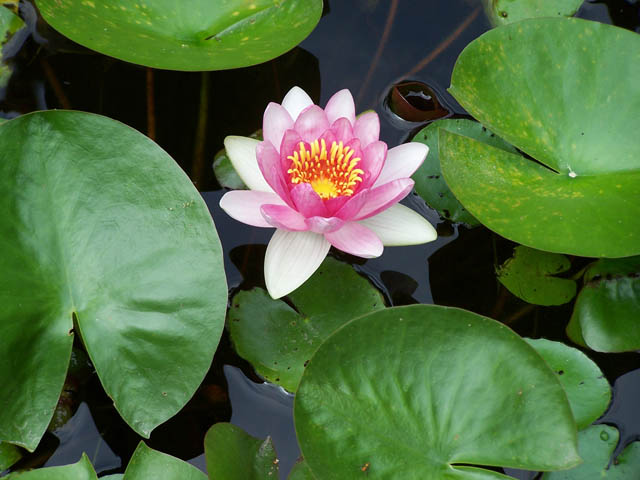 You can enjoy beautiful waterlilies if you plant them properly.