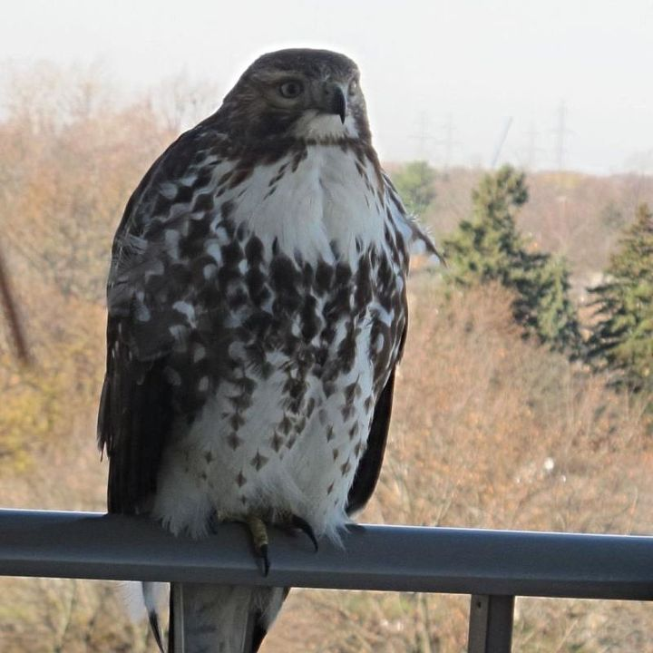 is this a peregrine falcon, outdoor living, pets animals