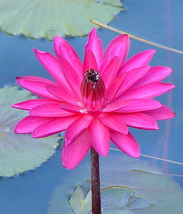 My prettiest water lily