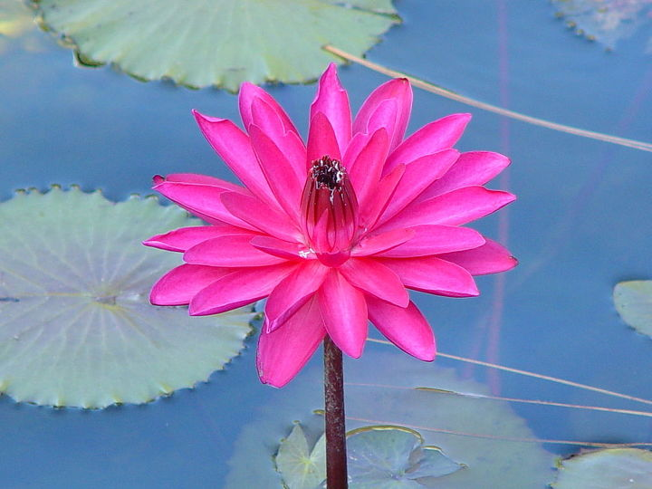 q lily prettiest one i have, gardening, My prettiest water lily