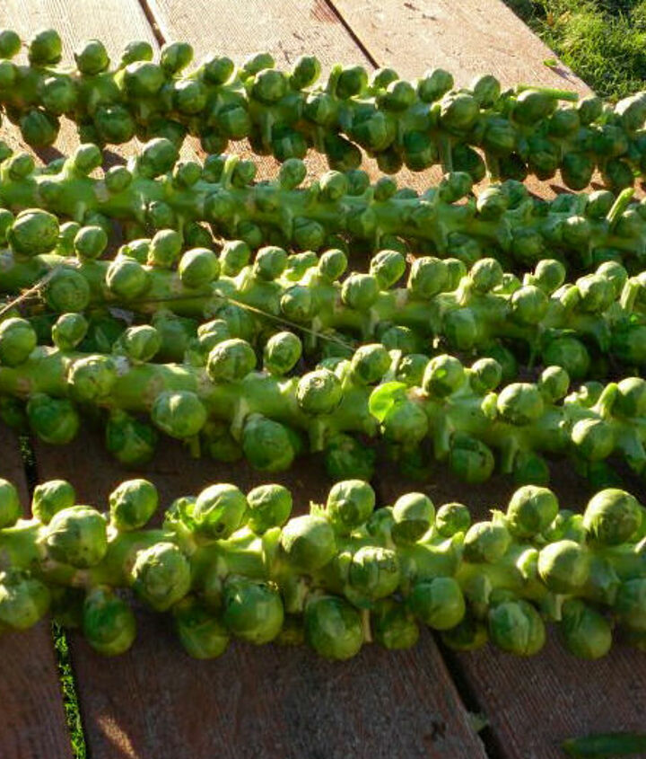 are you lucky enough to grow brussel sprouts in the summer, gardening