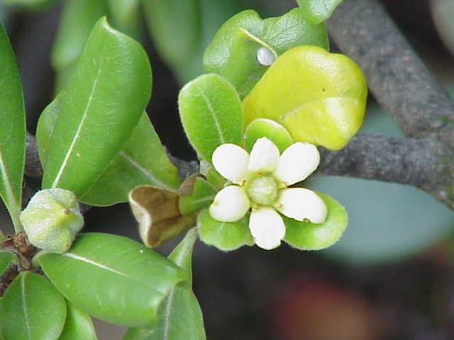 Plant plants with berries like Pittosporum