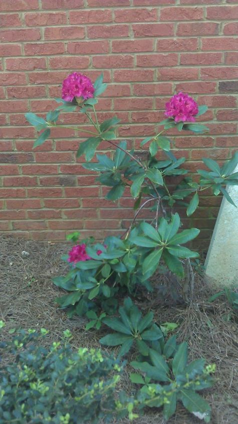 q rhododendron blooming but looking sickly any ideas what might be happening, gardening, Today 2012