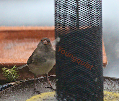 Dark-Eyed Junco Posing for the Camera (from behind the Yellow NIGER Feeder! DETAILS on the junco @ http://www.thelastleafgardener.com/2013/03/waiting-for-spring.html
