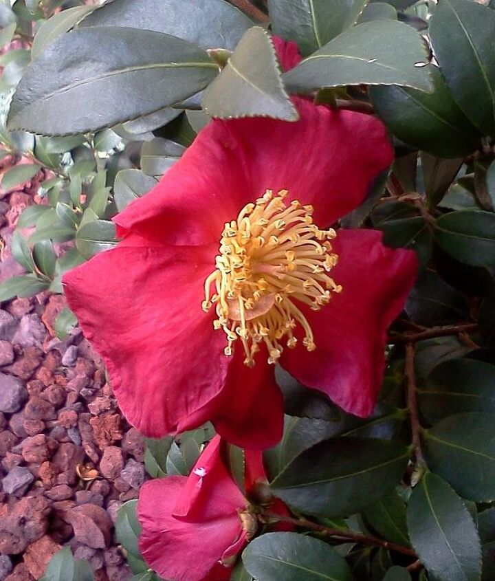 Yuletide Camellia in bloom now, Zone 7b southeast USA