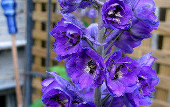 Tip for Planting Delphinium Seeds in Fall and More
