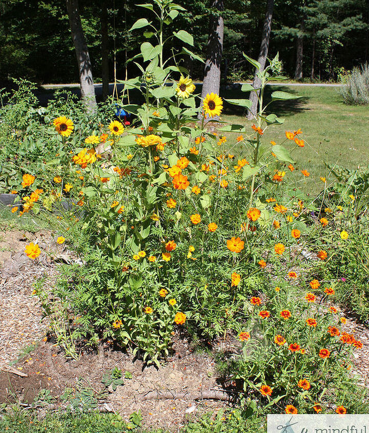 The final result at end of first summer. Cosmos, zinnias and sunflowers flourishing!