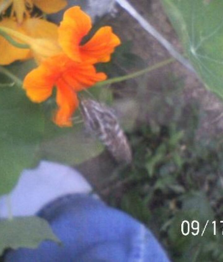 First hummingbird moth i have ever seen.
