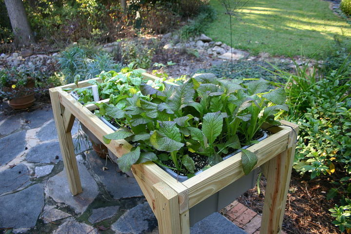 more Swiss chard and kale
