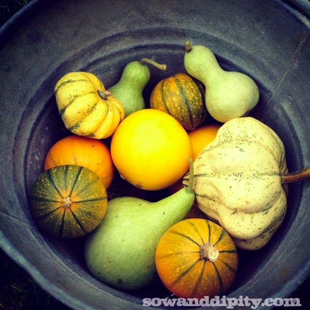 Meet the Gourds ( my garden )