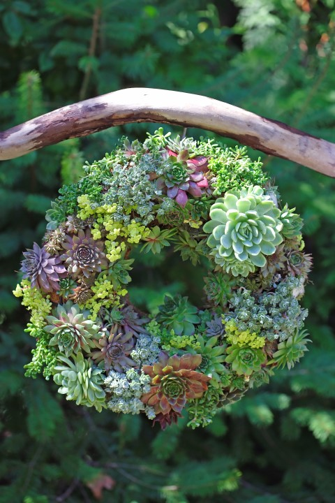 A lush living wreath is easy to make and can be placed in the garden or use it as a table centrepiece for special occasions.