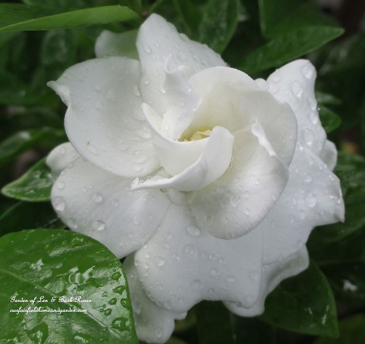 Gardenia blooming in our garden. See more of my flowers at http://ourfairfieldhomeandgarden.com or http://pinterest.com/barbrosen/our-fairfield-garden/